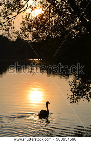 stock-photo-swan-on-the-lake-at-sunset-560654566